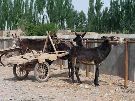 Donkeys tied up at the Kashgar livestock market