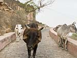 You shall not pass, cows along the Aravalli Hill path