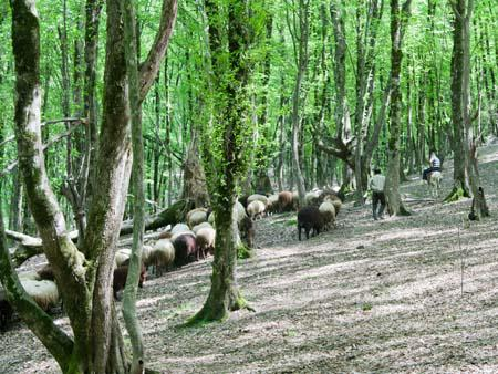 Goats and sheep being herded through Nahar Khoran forest