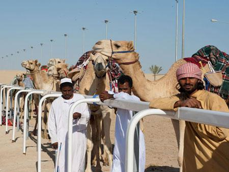 Camels with handler after racing