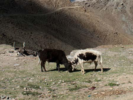 Two bulls fighting with the Kyi-chu Valley in the background